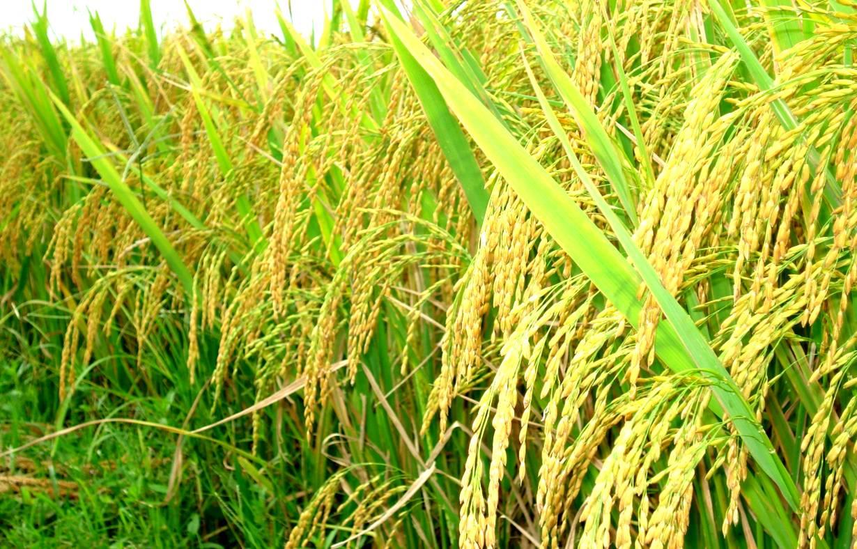 gạo hải hậu
